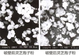普萊申超微粉碎機,靈芝孢子粉破壁率超95%,撬動了靈芝市場